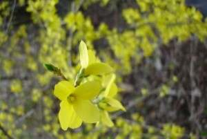 LCH 01 Yellow Forsythia