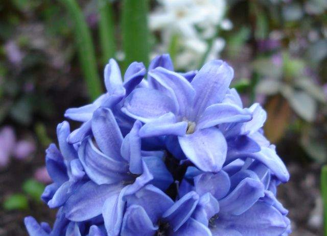 LCH 02 Blue Hyacinth