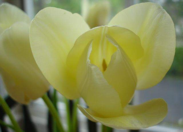 LCH 04 Pale Yellow Tulips