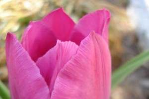 LCH 06 Pink Tulip