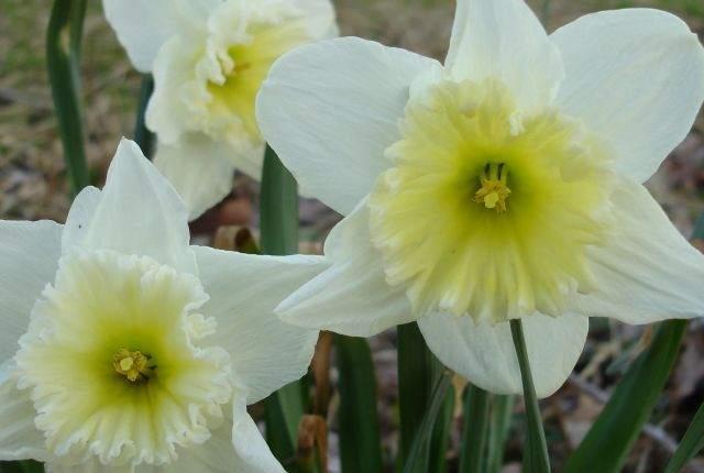 LCH 08 White Daffodils